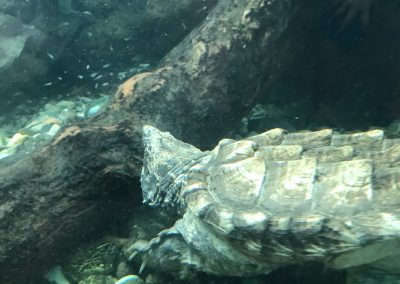 Schnappschlilkröte