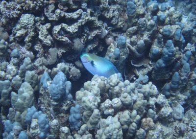 Kugelkopf-Papageinfisch beim Futtern