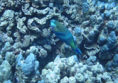 Kugelkopf-Papageinfisch
