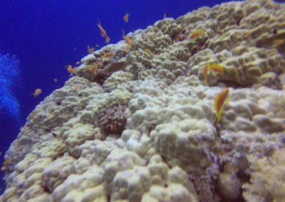 Fahnenbarsche am Riff